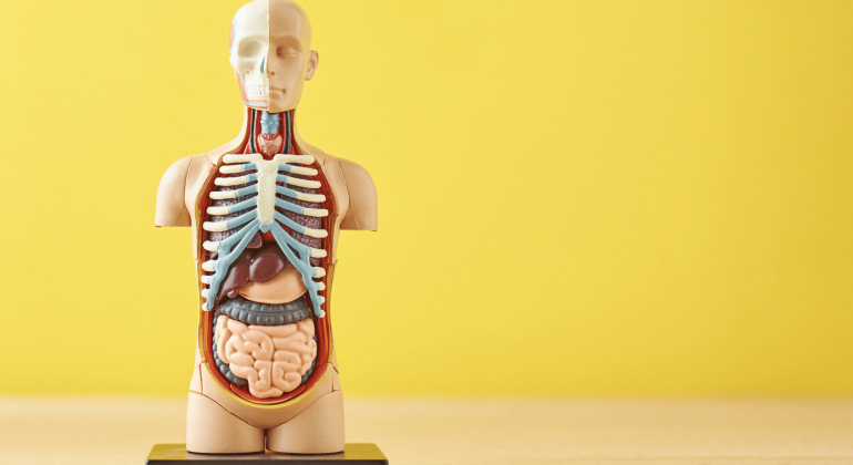 a small anatomical model with some of the internal organs visible in a modest and ungrusome way