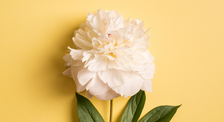 white peony on a creamy yellow background the root of the peony plant is used as a herb in chinese medicine to nourish and strengthen the blood