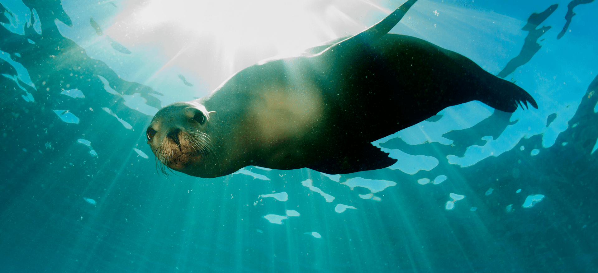 Inquisitive seal in deep water, agile and fluid with rays on sunshine shining through